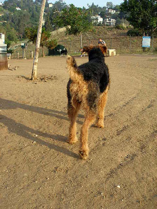 Bogart, King of Terriers at the Silverlake Dog Park