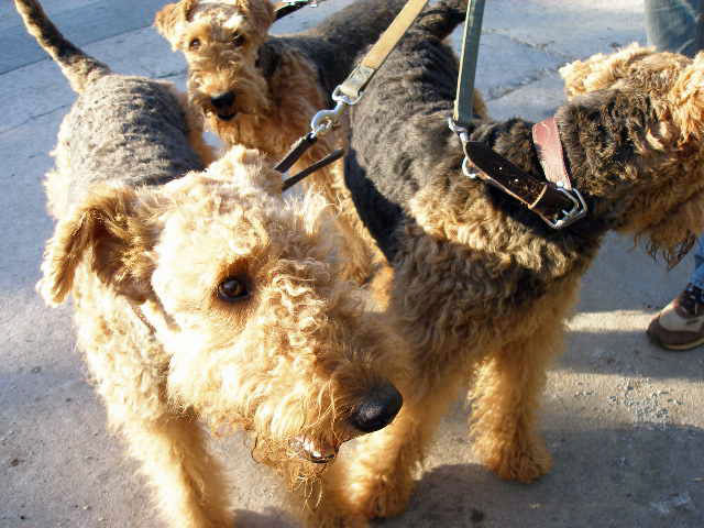 Airedales!!!!