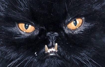 Sebastian Gold Teeth Cat
