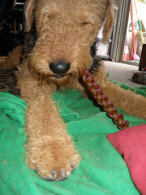 Maggie & Mitch Airedales