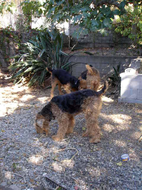 Airedales!