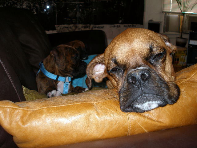 Boxer Babies and Heidi