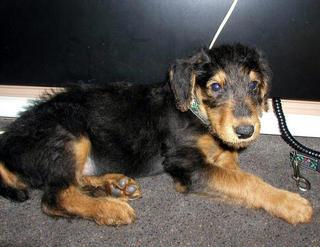 Bogart Puppy
