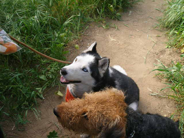 Daisy the Husky
