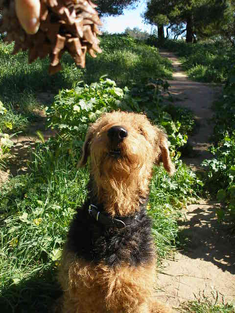 Airedale Pine Cone