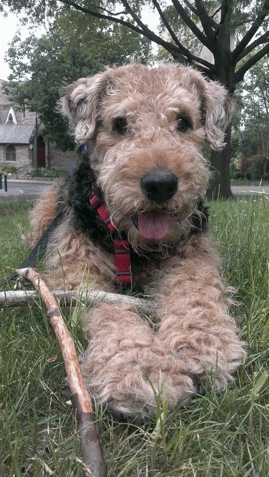 Bogart Airedale Terrier