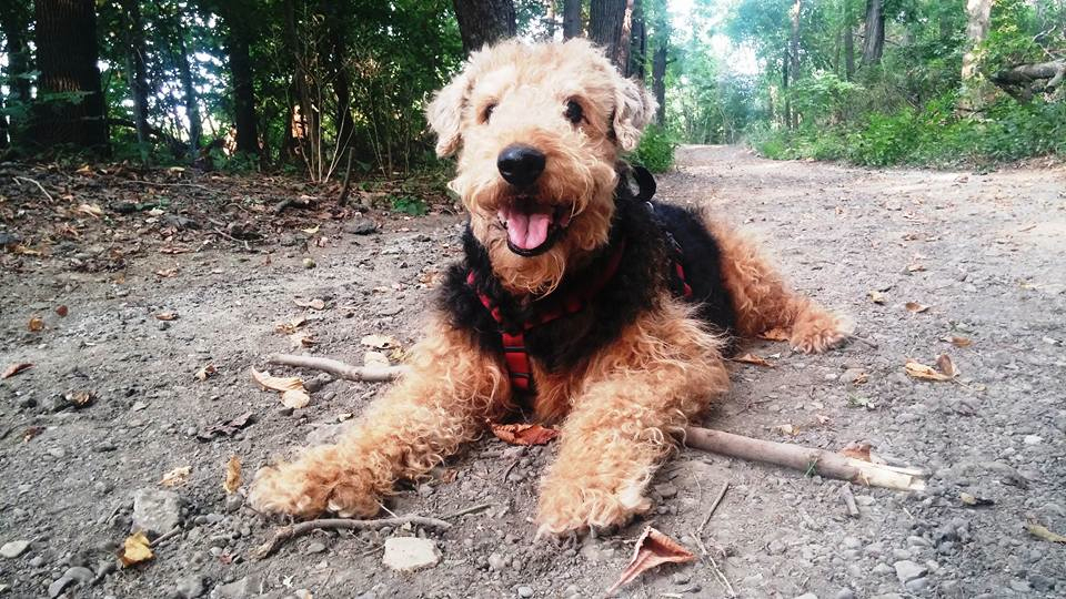 Full Airedale Smile